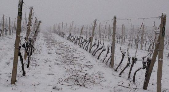 Winter in vineyard