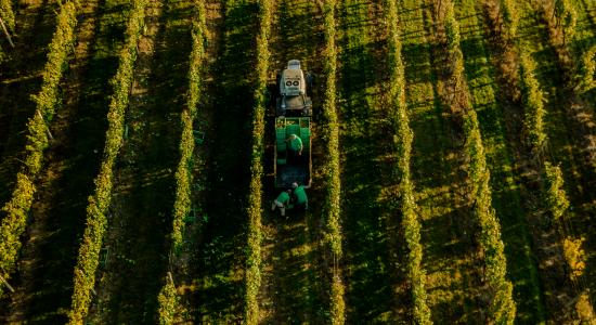 Grape harvest at sunset 2017