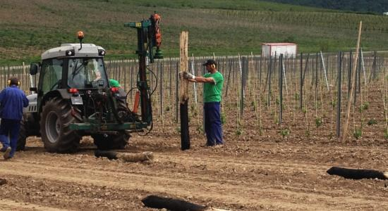 Výsadba vinohradu 2013